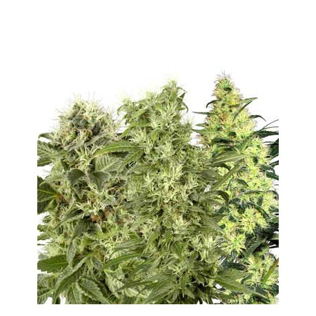 buy cannabis seeds Female Mix