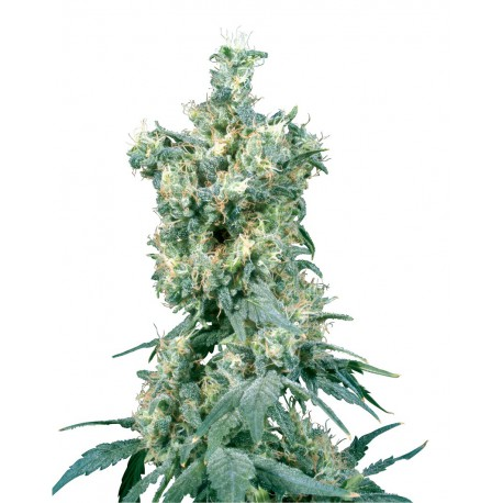 buy cannabis seeds American Dream