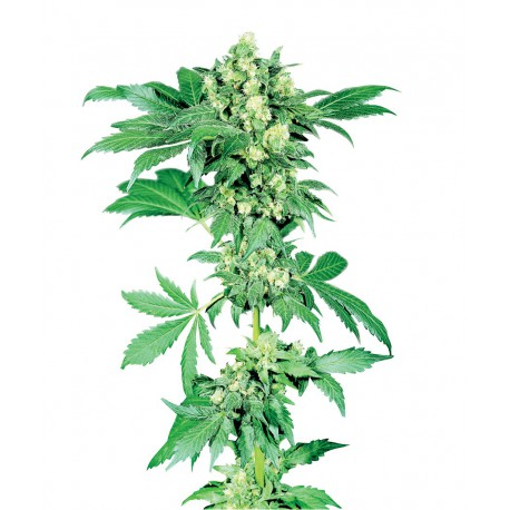buy cannabis seeds Afghani #1
