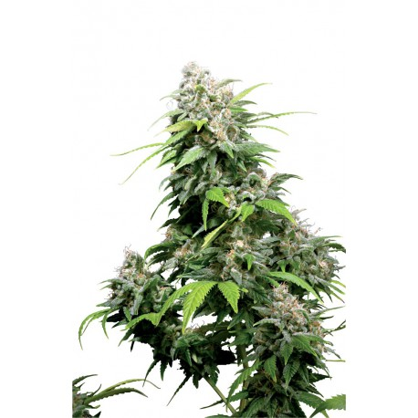 buy cannabis seeds California Indica