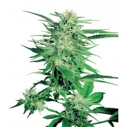 Big Bud cannabis seeds Sensi Seeds