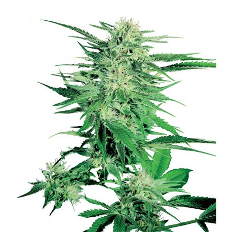 buy cannabis seeds Big Bud
