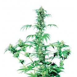 Early Girl cannabis seeds Sensi Seeds