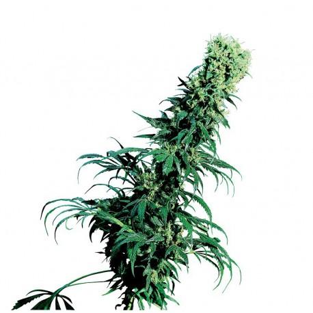 buy cannabis seeds Early Pearl