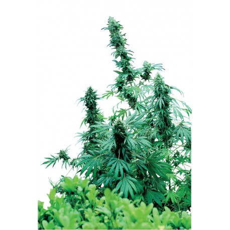 buy cannabis seeds Early Skunk
