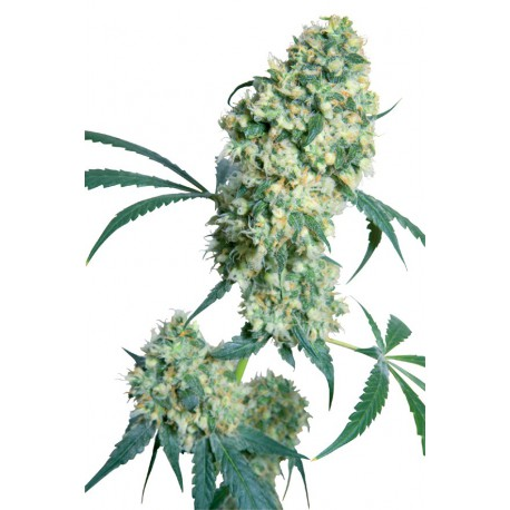 buy cannabis seeds Ed Rosenthal Superbud