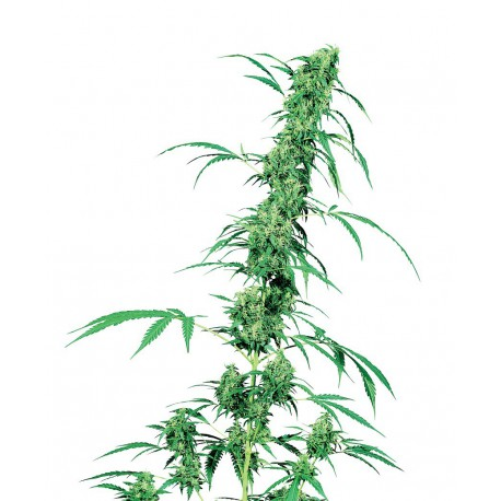 buy cannabis seeds Fruity Juice