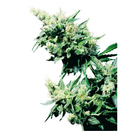 buy cannabis seeds Hash Plant
