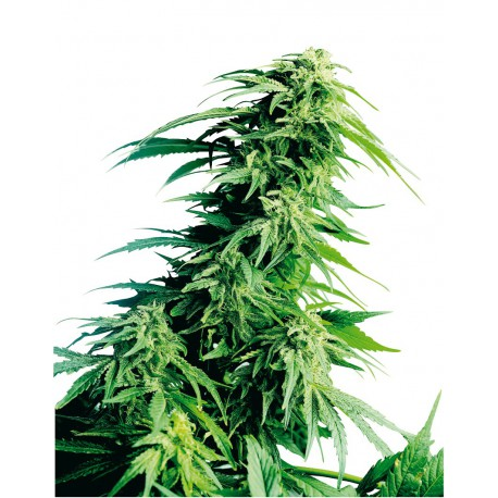 buy cannabis seeds Hindu Kush