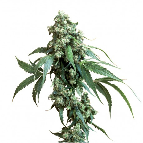 buy cannabis seeds Jack Flash