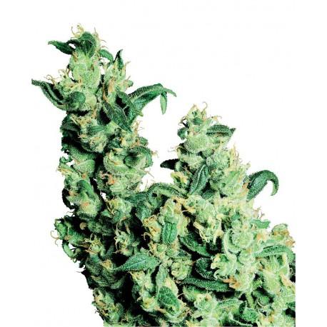 buy cannabis seeds Jack Herer