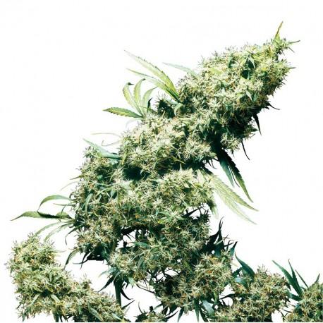buy cannabis seeds Jamaican Pearl