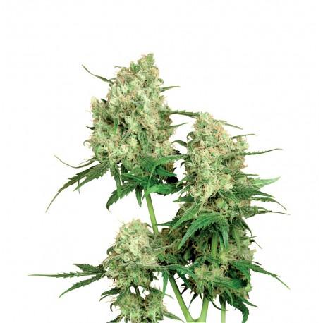 buy cannabis seeds Maple Leaf Indica