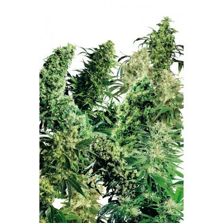 buy cannabis seeds Indoor Mix