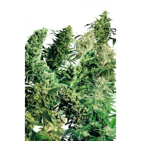buy cannabis seeds Indoor Mix