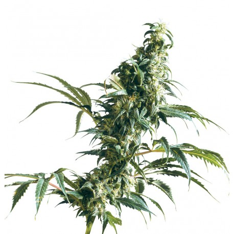 buy cannabis seeds Mexican Sativa