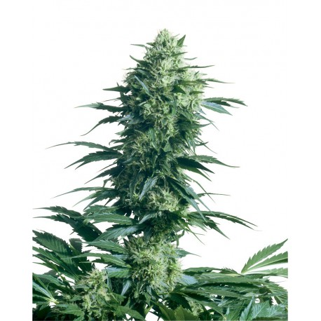 buy cannabis seeds Mother's Finest