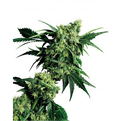 buy cannabis seeds Mr Nice G13 x Hashplant