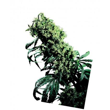 buy cannabis seeds Northern Lights #5 x Haze