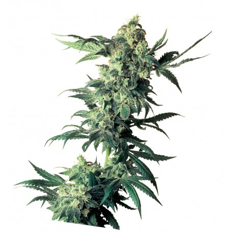 buy cannabis seeds Northern Lights
