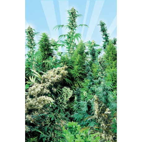 buy cannabis seeds Outdoor Mix