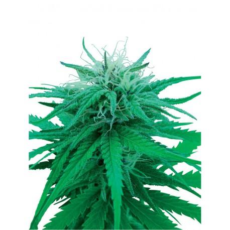 buy cannabis seeds Ruderalis Indica
