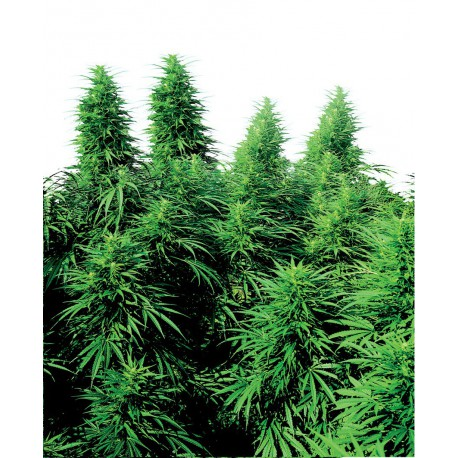 buy cannabis seeds Ruderalis Skunk