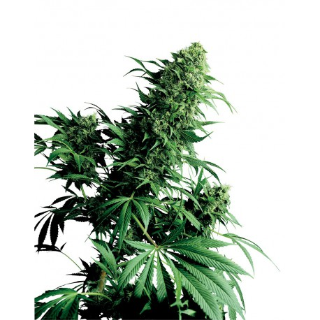 buy cannabis seeds Shiva Shanti