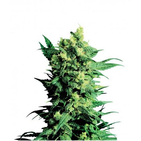 buy cannabis seeds Shiva Shanti II