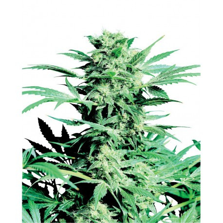 buy cannabis seeds Shiva Skunk