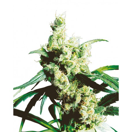buy cannabis seeds Silver Haze