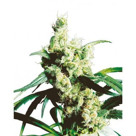 buy cannabis seeds Silver Haze