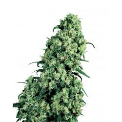 Skunk (marijuana)