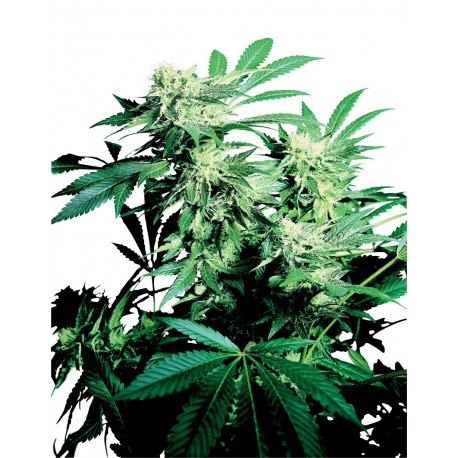 buy cannabis seeds Skunk Kush
