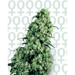 Skunk #1 cannabis seeds Sensi Seeds