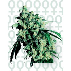 Super Skunk cannabis seeds Sensi Seeds