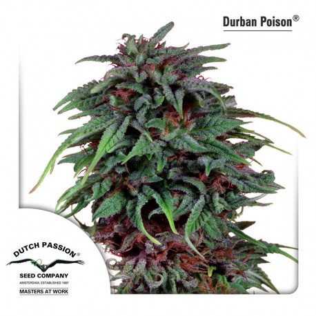 buy cannabis seeds Durban Poison