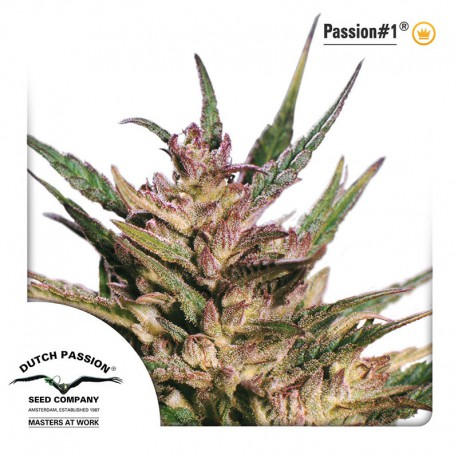 buy cannabis seeds Passion #1