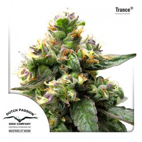 buy cannabis seeds Trance