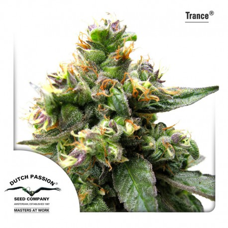 buy cannabis seeds Trance