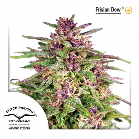 buy cannabis seeds Frisian Dew