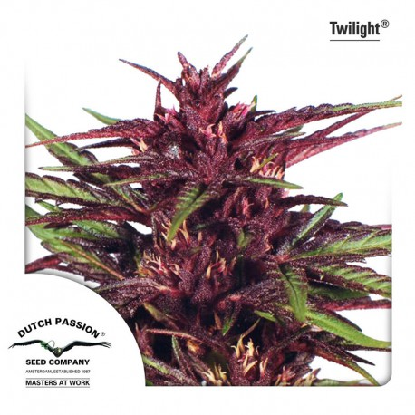 buy cannabis seeds Twilight