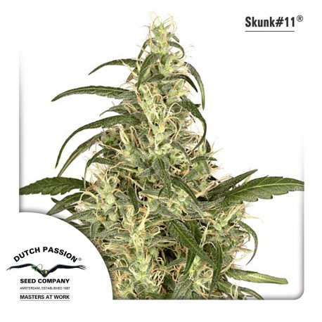 buy cannabis seeds Skunk #11
