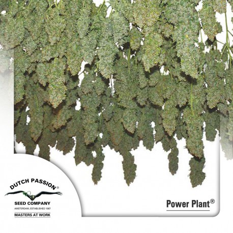 buy cannabis seeds Power Plant
