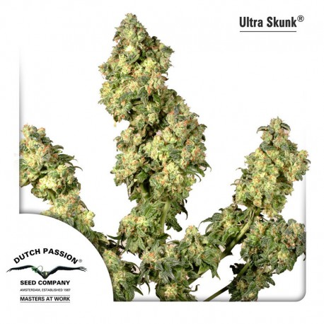 buy cannabis seeds Ultra Skunk