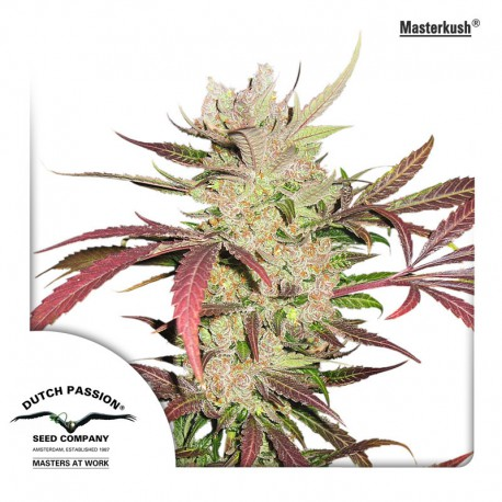 buy cannabis seeds Masterkush