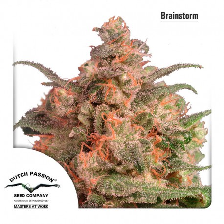 buy cannabis seeds Brainstorm
