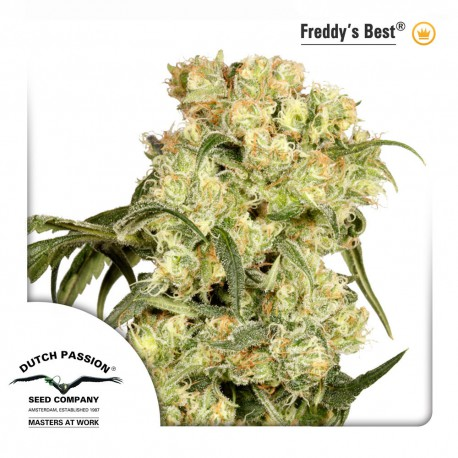 buy cannabis seeds Freddy's Best