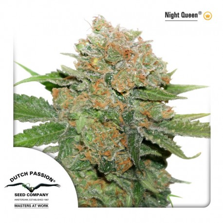 buy cannabis seeds Night Queen