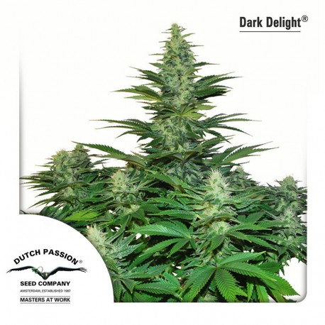 buy cannabis seeds Dark Delight